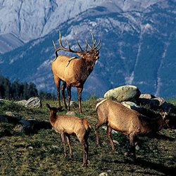 Canada - Elk, Wildlife, Jasper National Park